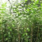 Sistema de hidroponia para produção de mudas de citros