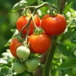 Vem aí o 7º Seminário Nacional de Tomate de Mesa