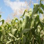 Influência do zinco no controle das doenças de grãos
