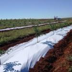 Cobertura plástica acelera desenvolvimento das plantas