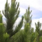 Doses de fertilizante de liberação lenta na produção de mudas de pinus
