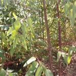 Análise de folha direciona para adubação ideal