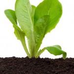 Resultados do nitrogênio de liberação lenta para folhosas