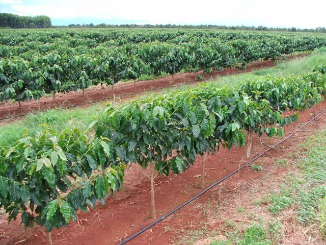 A utilização da água magnetizada promove aumento na produtividade do cafeeiro - Crédito Ana Maria Diniz