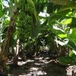 Emater-MG alerta sobre a prevenção para combater o Mal do Panamá nos bananais