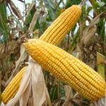 Chuvas beneficiam fase de florescimento do milho em Itapeva (SP)
