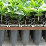 Monte Alegre –Sementes e mudas de café com qualidade garantida