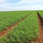 Adubação organomineral gera economia de 50% em fertilizantes minerais