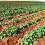 Ácidos húmicos na batata disponibilizam nutrientes retidos no solo