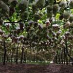 Aplicação de regulador vegetal melhora a cor e a conservação pós-colheita da uva