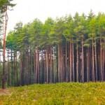 Pinus pode ser a solução para gerar renda extra