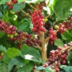 Os benefícios dos aminoácidos para o café