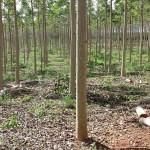SISCedro é osoftware gratuito da Embrapa para manejo e inventário florestal de cedro australiano