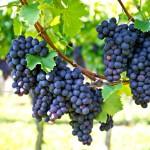 Aminoácidos estimulam maturação e coloração das frutas