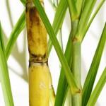 Setor sucroenergético do MS investe em nova variedade de cana de açúcar