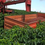 Colheita mecanizada do café regulada em função da agricultura de precisão