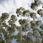 Fertilizante de liberação lenta na rebrota do eucalipto