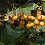 Manchas marrons em frutos –Nova anormalidade em cafeeiros