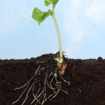 Fósforo aumenta o sistema radicular do feijoeiro