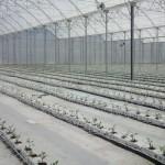 Cultivo em canaletas com fibras de coco reduz fungos na hidroponia