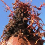 Desafios do manejo de nematoides em hortaliças tuberosas