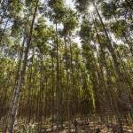 Adubação na formação ou recuperação de povoamentos florestais