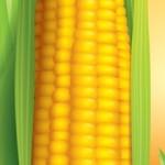 Sementes tratadas com aminoácidos têm melhor germinação