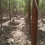 O clone ideal para seu cultivo de eucalipto