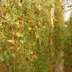 Cresce a incidência da traça do tomateiro