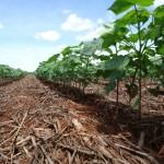 Tratamento de sementes de algodão com fungicida e inseticida