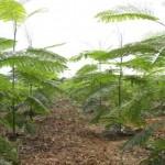Paricá –Madeira de demanda garantida e lucro crescente