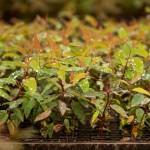 Tratamento das mudas com reguladores vegetais para enraizamento