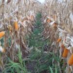 Conab libera venda de milho para produtores rurais de pequeno porte do Nordeste