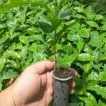 Plantio mecanizado garante maiores índices de precisão