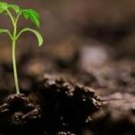 Organominerais melhoram absorção de nutrientes no tomateiro