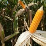 Tendência atual do cultivo de milho em função do ciclo da planta