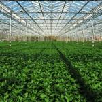 Cultivo protegido aumenta produtividade em 60%