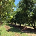 Manejo da adubação foliar no abacateiro