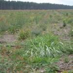 Plantas daninhas interferem no desenvolvimento do eucalipto
