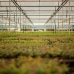 Produção de mudas florestais em espuma fenólica