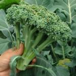 Cuidados essenciais no cultivo do brócolis