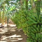 Colheita e pós-colheita da banana