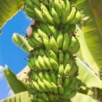 Principais cultivares e híbridos de banana