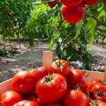 Qualidade do tomateiro é elevada com programa contra pragas