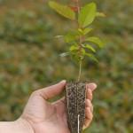 Fertilizantes com ácidos húmicos aumentam enraizamento da planta