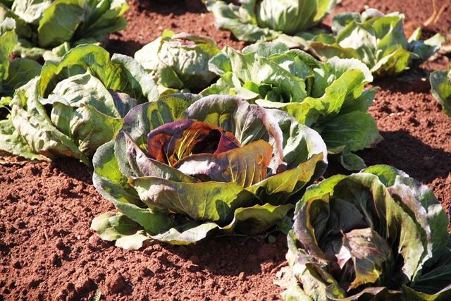 As plantas precisam de solo bem rico em matéria orgânica e com boa disponibilidade de água - Crédito Ana Maria Diniz
