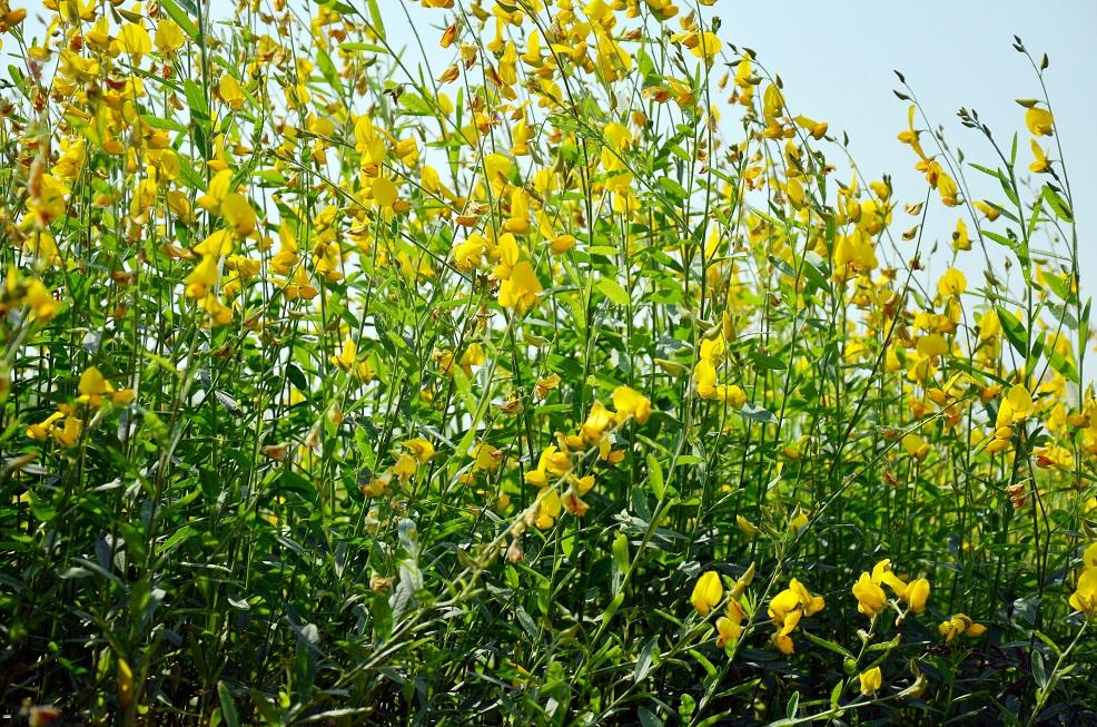As leguminosas são as plantas preferencialmente utilizadas na adubação verde - Crédito Shutterstock