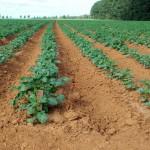 Batata: mercado consumidor exige cuidados com padronização do tubérculo