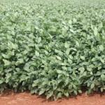 Doenças da soja e o correto manejo dos defensivos