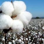 Adubação foliar é imprescindível no florescimento do algodoeiro
